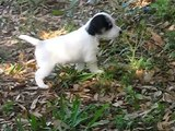 Puppies: Parson Russell Terriers/Jack Russell Terriers