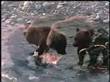 Grizzly Bear vs Caribou - After