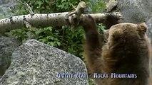 Grizzly bear -  Ursus Horribilis (Canada)