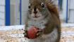 """Un écureuil """"ronronne"""" en décortiquant une noisette"""