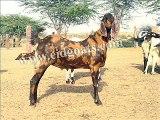 PKG Kamori Goat Farm Dadu - video dailymotion