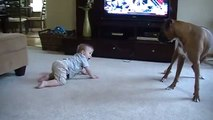 Boxer giving Baby Kisses - Why boxers are the best dogs for kids