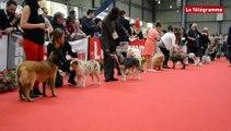 """Saint-Brieuc. 2.245 chiens de race réunis pour l""""exposition canine"""