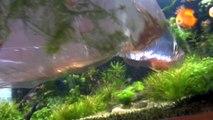 New Chrystal Red Shrimp