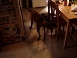 fun boxer dog going crazy after laser pointer in Montreal QC