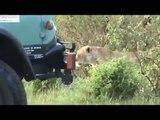 Lions on a hunt!  Our safari in the Masai Mara.... Kenya, Africa