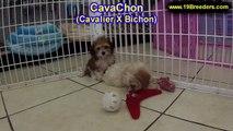 CavaChon, Puppies For Sale, In Atlanta, Georgia, GA, 19Breeders, Savannah,Sandy Springs, Roswell