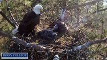 Berry College Eagles 3/17/2015 First Self-feeding Attempt