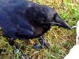 """Corvo Imperiale e Cornacchia Grigia"""" Corvus corax and corvus corone """"JACK & GREY"""