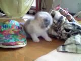 cotton 5(scottish fold kitten - female)