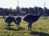 Emu Chicks 5 weeks old, at www.FredsFineFowl.com
