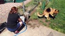 German Shepherd adore jouer avec le jet d'eau