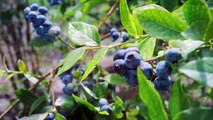 日本大好き♡Anna's Japan Travel - Fujikawaguchiko,Yamanashi 山梨県富士河口湖町 (lavender, blueberry, thatched roof)