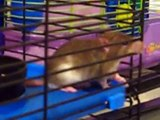 rat baby activity in cage