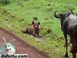 Wild dogs eats cow alive