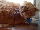 Orange Tabby Cat Mad when kitten moves in house