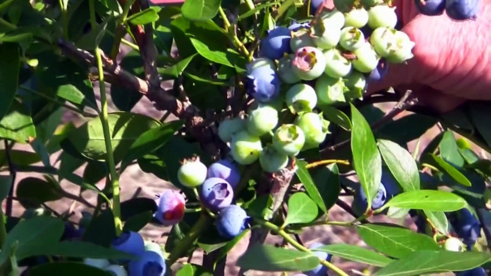Blueberry Plant Life Cycle