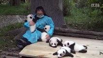 Baby pandas' looking for hugs,cute giant panda,可爱大熊猫