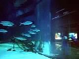 Ataque do tubarao comercial - Shark attack - Attaque requin (Yellow pg) pub - tubarão ataque
