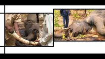 Elephants - An introduction to three species loved and endangered by man (English version)