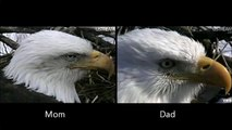 Decorah Eagles - How to Tell Difference between Mom and Dad