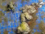 Toad in my swimming pool, diferece between  frogs & toads.
