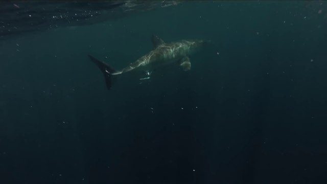 Close Encounter with GREAT WHITE : terrifying shark!
