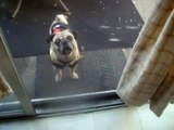My mommy told me that a TOTAL STRANGER told her that I was one of the CUTEST PUGS IN THE WORLD!! (1)
