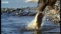 Salmon survival against eagles, sharks and grizzly bears - BBC wildlife