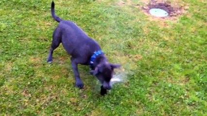 Hank the Dog Vs The Sprinkler