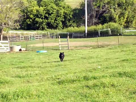 Ebony on cattle