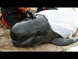 Beached whales: how the stranding happens