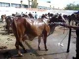 Vaca Gir - Raça Gir 2 - bovino - Zebu - Cow Gir breed