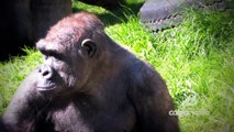 Funny Cute animal video videos Calgary Zoo - Gorillas Gorillas - Educational BizBOXTV