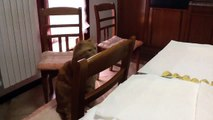 A cat steals a ravioli with pumpkin filling from the kitchen table - SISSI THE RED CAT