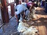 Argentine Patagonie démonstration de la tonte des moutons (Patagonia sheep shearing )