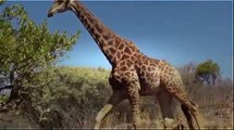 New Animal Funny Videos 2014   Giraffe Stalks Cyclist Funny Videos - Funny Videos 2015