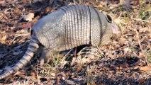 Armadillo: Funny Animals Video Clips: Strange Animals Caught On Tape: Armadillo Running