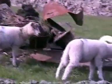 sheep call
