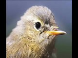 Getting to grips with warblers 1: Chiffchaff Vs Willow Warbler