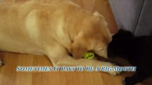 Our 6 Year Old Yellow Lab Showing Our Black Lab Puppy (Mix) The Ropes - Teach Dogs How To Fetch