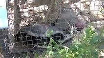 Honey Badger Narrates: The Crazy Nastyass Honey Badgers of Naples, FL