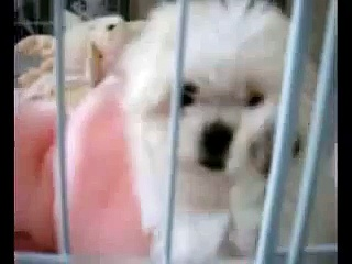 Maltese Puppies | Maltese Dogs | Free Maltese Puppies | Maltese Dog Breeder