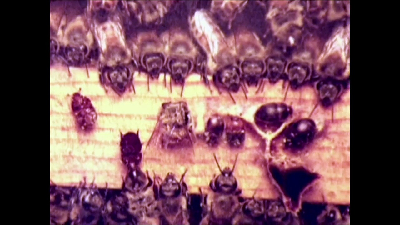 Small Hive Beetles in Honey Bee Colonies