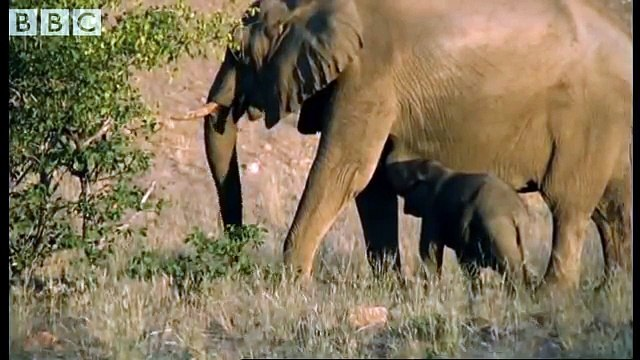 Meet the elephant calves of the Namib Desert - BBC animals