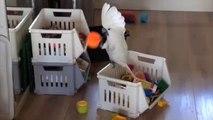Ce perroquet crie dans un gobelet pour modifier sa voix! Dingue...