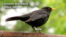 Blackbird - Common Blackbird Birdsong