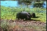 Leopard hunt Wild Pig, Leopard Cub fights Jackal
