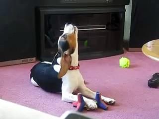Sad Beagle Cry