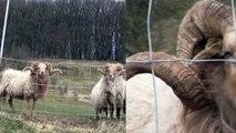 LE MOUTON KARAKACHAN ancêtre des moutons européens ...